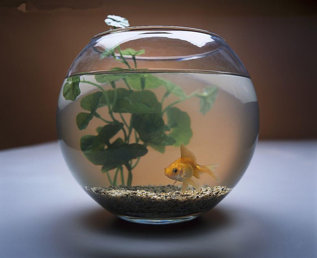 紫云轩教你如何在现代家居中养风水鱼金鱼